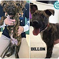 Adopt A Pet :: Dillon - Kimberton, PA