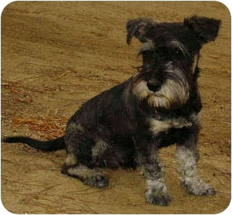 Schnauzer And Scottish Terrier Marcus | Adopte...