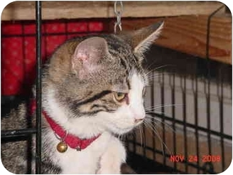 Domestic Shorthair Kitten for adoption in Pendleton, Oregon - Koda