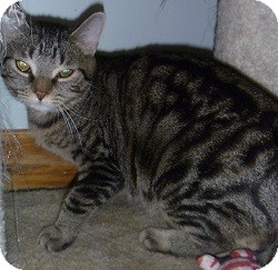 Domestic Shorthair Cat for adoption in Hamburg, New York - Chilly