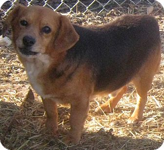 Dachshund/Beagle Mix Dog for adoption in Hillsboro, Ohio - Chocolate