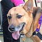 Adopt A Pet :: Katie - Pint-sized German Shep
