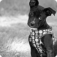 Adopt A Pet :: Roadie - Albany, NY
