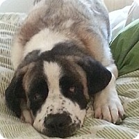 Adopt A Pet :: Ben - Broomfield, CO