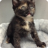 Adopt A Pet :: Bambi - Chandler, AZ