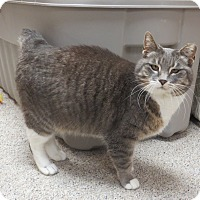 Domestic Shorthair Cat for adoption in Warren, Michigan - Billy Madison