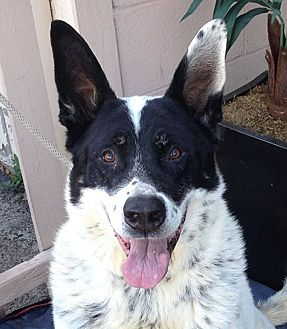 Shepherd (Unknown Type)/Border Collie Mix Dog for adoption in Canoga Park, California - Chance