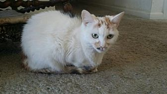 Siamese Cat for adoption in Fresno, California - Tinkerbell