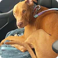 Adopt A Pet :: Cayenne - Cincinnati, OH