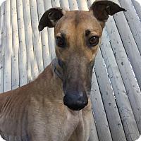 Greyhound Mix Dog for adoption in Swanzey, New Hampshire - Zane
