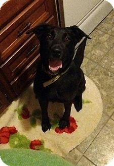 House springs mo labrador retriever meet missy a dog for Dog house for labrador retriever