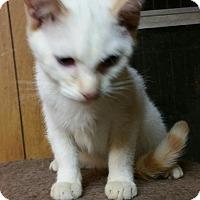 Domestic Mediumhair Kitten for adoption in Morganton, North Carolina - Pippin
