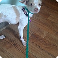 Chihuahua Dog for adoption in Ardmore, Oklahoma - Chica