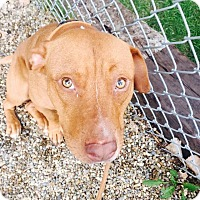 Adopt A Pet :: Bugsy - Cleveland, OH