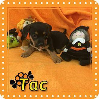 Basset Hound/Rottweiler Mix Puppy for adoption in Houston, Texas - Tac