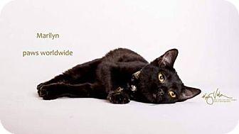 Egyptian Mau Kitten for adoption in Yucca Valley, California - MARILYNN