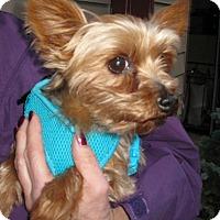 Adopt A Pet :: Teddy Bear - Salem, OR
