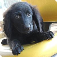 Adopt A Pet :: Pixie - pending - Manchester, NH