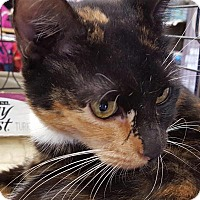 Calico Cat for adoption in Kingwood, Texas - Mary