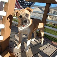Mastiff Mix Dog for adoption in Brooklyn Center, Minnesota - Bella
