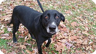 Labrador Retriever Mix Dog for adoption in Marion, Indiana - Sasha