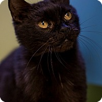 Domestic Shorthair Cat for adoption in Indianapolis, Indiana - Dandy Lion
