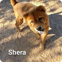 Adopt A Pet :: Shera - North Haven, CT