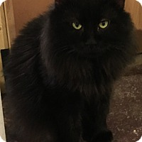 Adopt A Pet :: BobCat - Muskegon, MI