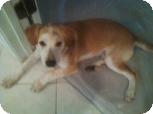 Labrador Retriever Mix Dog for adoption in Alpharetta, Georgia - Josie II