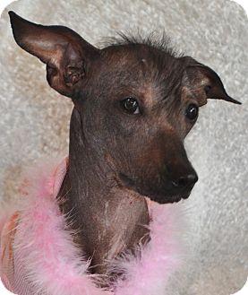 xoloitzcuintli pitbull mix - photo #38
