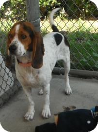 Beagle Mix Dog for adoption in Jackson, Michigan - Copper