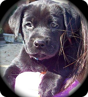 Retriever (Unknown Type)/Terrier (Unknown Type, Medium) Mix Puppy for adoption in CHICAGO, Illinois - ABIGAIL
