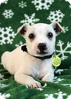 Terrier (Unknown Type, Small)/Chihuahua Mix Puppy for adoption in Westminster, Colorado - Sloth