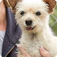 Terrier (Unknown Type, Small) Mix Dog for adoption in Acton, California - Scooby