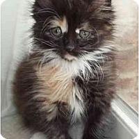 Adopt A Pet :: Holly - Arlington, VA