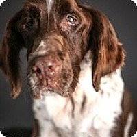 English Springer Spaniel Dog for adoption in Minneapolis, Minnesota - Jordy