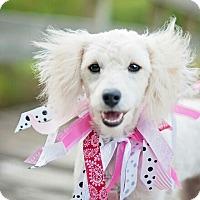 Adopt A Pet :: Ivory - Kingwood, TX