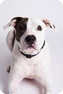 American Bulldog/Pit Bull Terrier Mix Dog for adoption in Armonk, New York - Petey