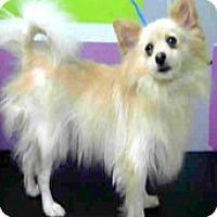 Adopt A Pet :: Lola - Boulder, CO