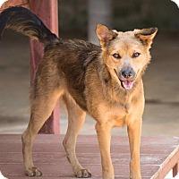 Adopt A Pet :: Satiya - Pitt Meadows, BC