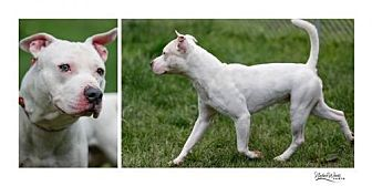 Staffordshire Bull Terrier Mix Dog for adoption in Batavia, Ohio - Jaden
