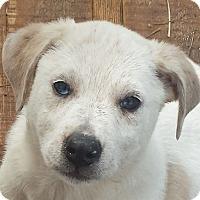 Adopt A Pet :: Rogue AD 06-11-16 - Preston, CT