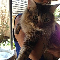 Maine Coon Cat for adoption in Pulaski, Tennessee - Sophie