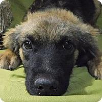 Adopt A Pet :: Bruce Lee Shag Solis - Wakefield, RI