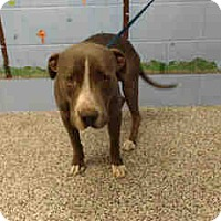 Pit Bull Terrier Mix Dog for adoption in San Bernardino, California - URGENT ON 10/20 San Bernardino