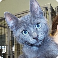 Domestic Shorthair Kitten for adoption in Grants Pass, Oregon - Steve