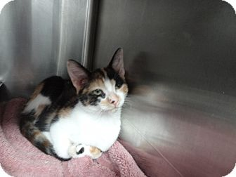 Domestic Shorthair Kitten for adoption in Tucson, Arizona - LOLLY