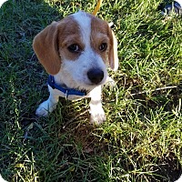 Adopt A Pet :: Flannel - Elgin, IL