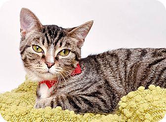 Domestic Shorthair Kitten for adoption in Wyandotte, Michigan - ENZO
