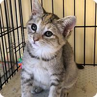 Domestic Shorthair Kitten for adoption in Island Park, New York - Edie